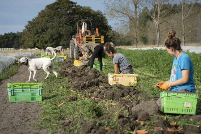 The Spring Collective team harvesting carrots